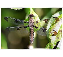 Female White-tailed Skimmer Poster