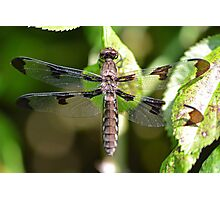 Female White-tailed Skimmer Photographic Print