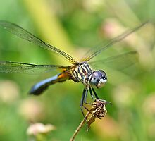 Male Blue Dasher by William Brennan