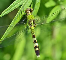 Female Eastern Pondhawk by William Brennan