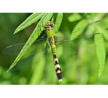 Female Eastern Pondhawk Photographic Print
