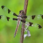 Juvenile Male Twelve-spotted Skimmer by William Brennan