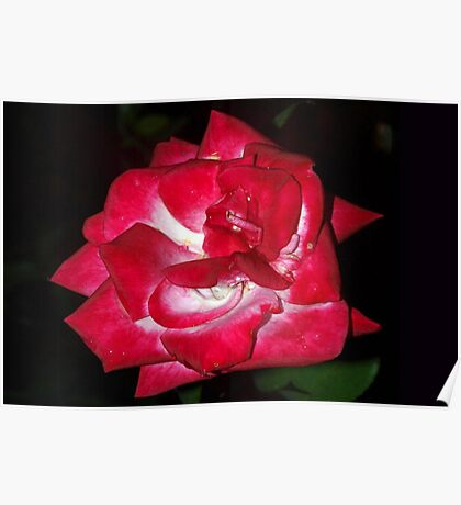 Rain-sprinkled red rose Poster