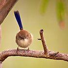 Female Wren  by D-GaP