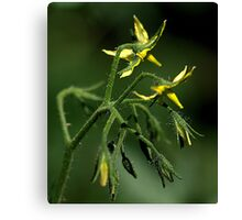 A Tomato Plant... flowering... Canvas Print