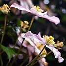 Pink Clematis by Vicki Field