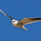 Black Shouldered Kite by Bill  Robinson