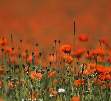 Poppy Field by Photokes