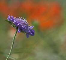 Corn Flower in the Poppy Field by Photokes