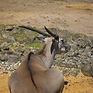 Antelope by Vac1