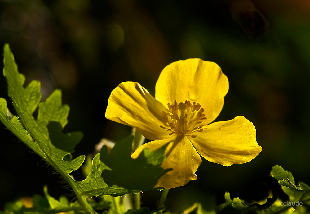 Wood Poppy by cclaude