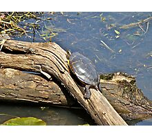 Grabbing a Bit of Sunshine - Painted Turtle Photographic Print