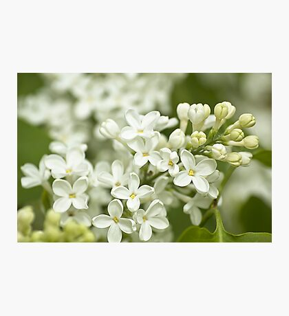 White Syringa Photographic Print