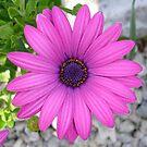 Violet Pink Osteospemum Flower Daisy by taiche