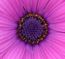 Violet Pink Osteospemum Flower Daisy Sticker