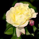 Peace Rose by Rosanne Jordan
