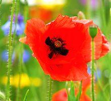 Poppy by artyamie