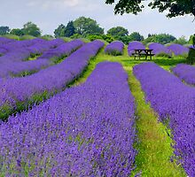 Mayfield Lavender Fields 1 by Colin  Williams Photography
