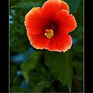 Vermillion Hibiscus - - Posters &amp; More by Maria A. Barnowl