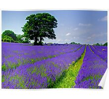 Mayfield Lavender Fields 2 Poster
