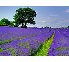 Mayfield Lavender Fields 2 Photographic Print