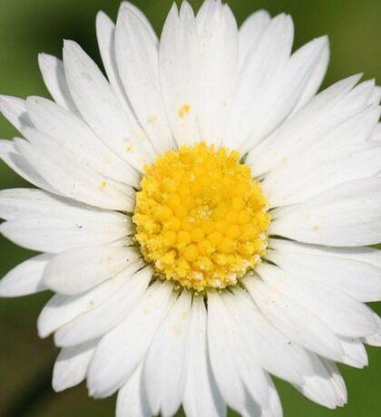 Closeup of a Beautiful Yellow and Wild White Daisy flower Sticker