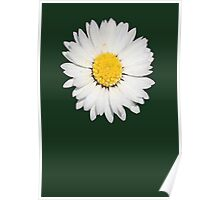 Closeup of a Beautiful Yellow and White Daisy flower Isolated Poster