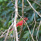 Cardinal in a Sweet Gum Tree. by ChuckBuckner