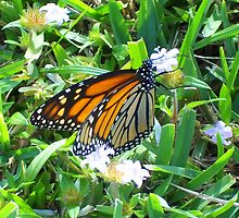 Monarch by Carla Barone