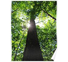 Sun Shining Through the Black River Forest Poster