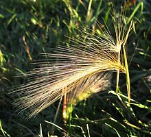 Sunlight on Foxtails by Coleen Gudbranson
