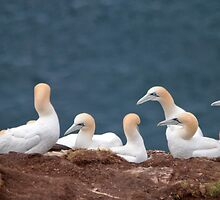 Gannets by M.S. Photography/Art