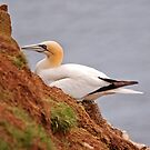 Gannet on cliff edge by Margaret S Sweeny