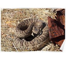 Common Rattle Snake Poster