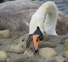 Swan pecking the rocks by pauladolphins