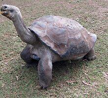ET - galapagos tortoise by springs