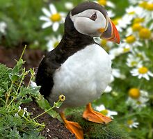 Puffin by Karen Marr