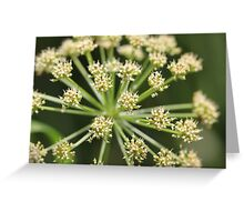 Elder flower  Greeting Card