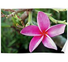 Pink plumeria blossom Poster
