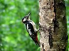 Great spotted woodpecker in the pooring rain by Peter Wiggerman