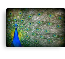 Peacock's Pride Canvas Print