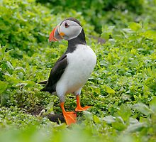 common puffin  by highhopes2