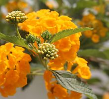 golden lantana by Linda  Makiej