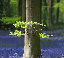 Bluebell woodland scene for your iPhone by Martyn Franklin