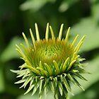 Green Coneflower by Zack Parton