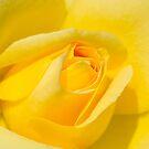 Yellow Rose! by vasu