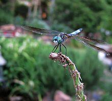 The Dragonfly by Elizabeth Burton