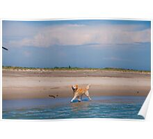 Buster the Golden Retriever at the ocean Poster