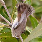 Mangrove Grey Fantail by Robert Elliott