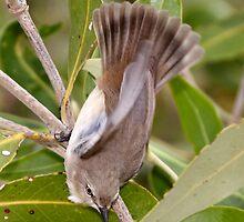 Mangrove Grey Fantail by Robert Elliott